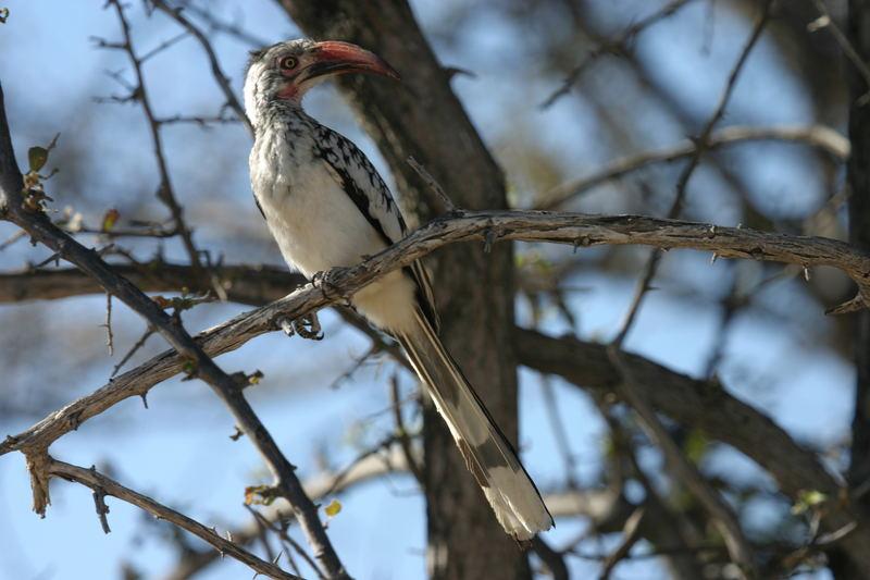 Rotschnabel Toko auch Hornbill genannt
