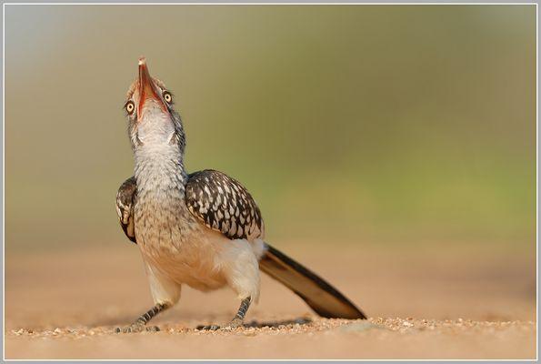 Rotschnabeltoko (Tockus erythrorhynchus)