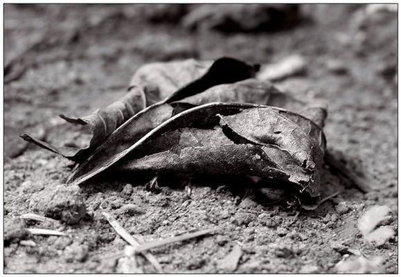 rotting leaf...