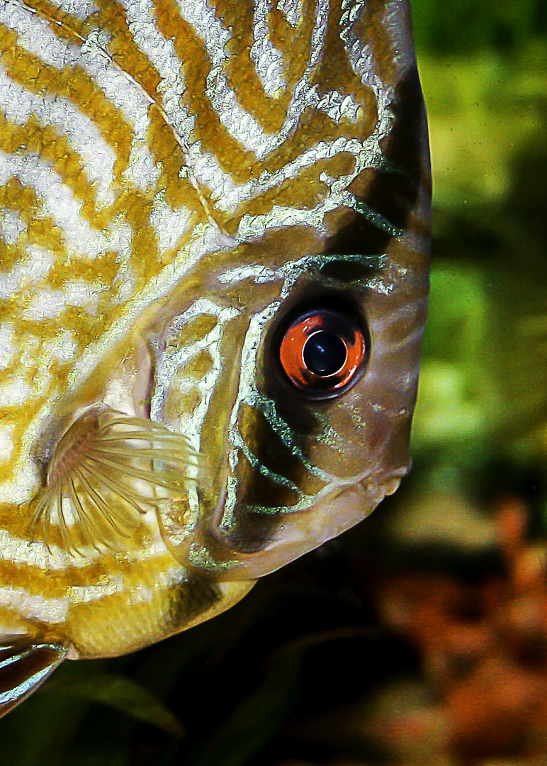 Rottürkis Diskusfisch - Symphysodon