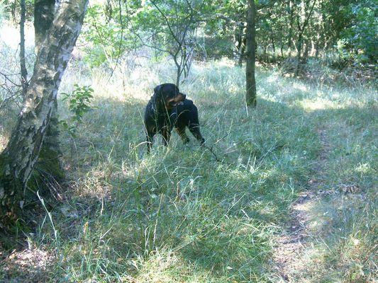 Rottweiler en forêt