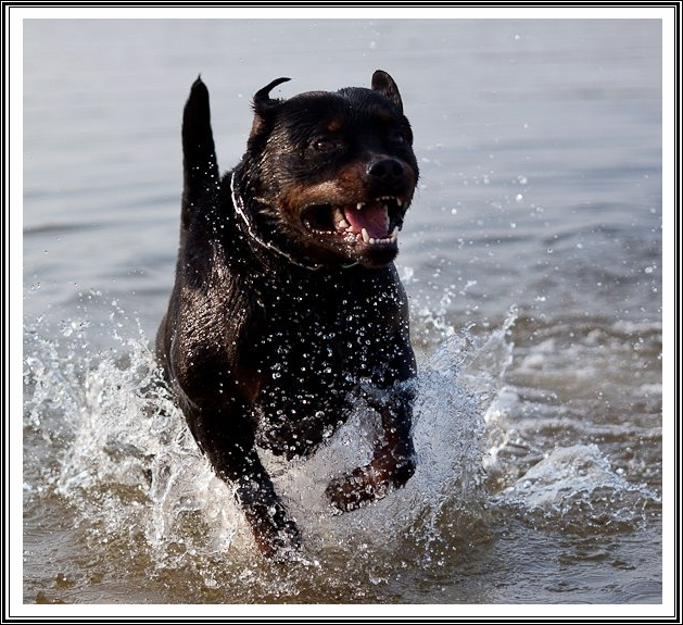 Rottweiler in the beach