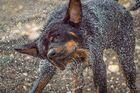 Rottweiler shakes!