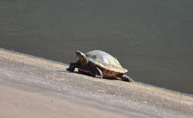 Rotwangen-Schmuckschildkröte ?