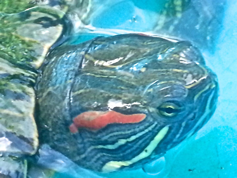 Rotwangen Schmuckschildkröte.