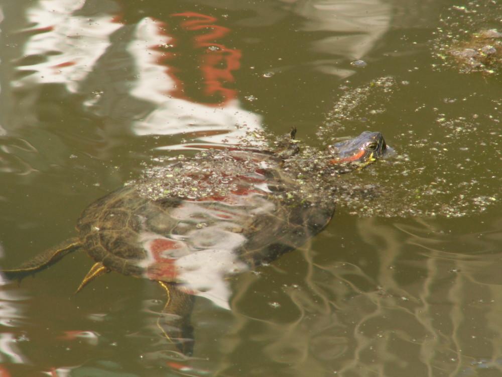 Rotwangenschildkröte