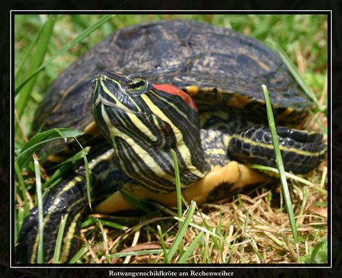 Rotwangenschildkröte II