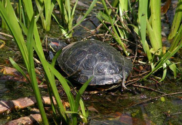 """Rotwangenschmuckschildkröte von """"Tierliebhabern"""" ausgesetzt"""