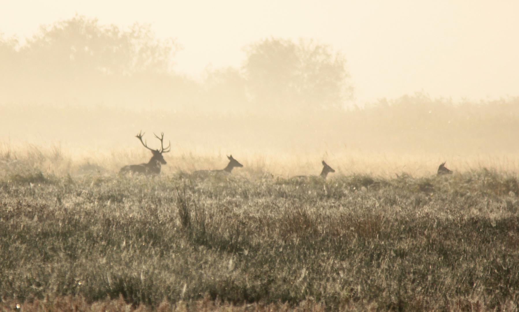 Rotwild im Morgennebel