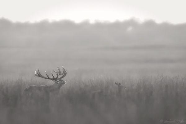 Rotwild in Grau