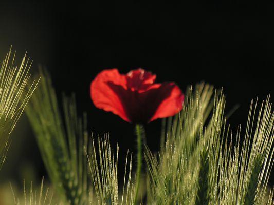 Rouge blé