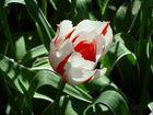Rouge et blanc...