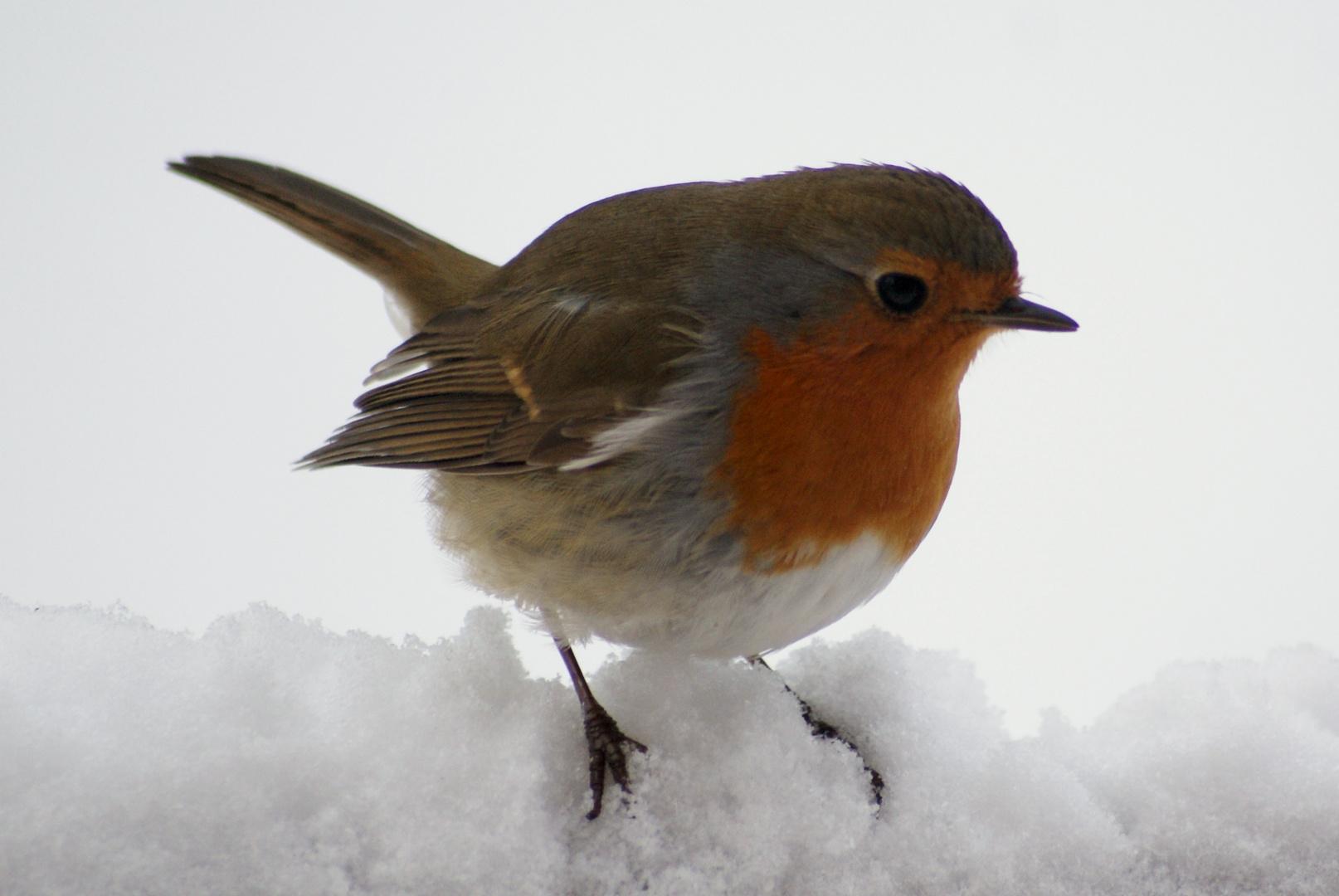 rouge goerge neige