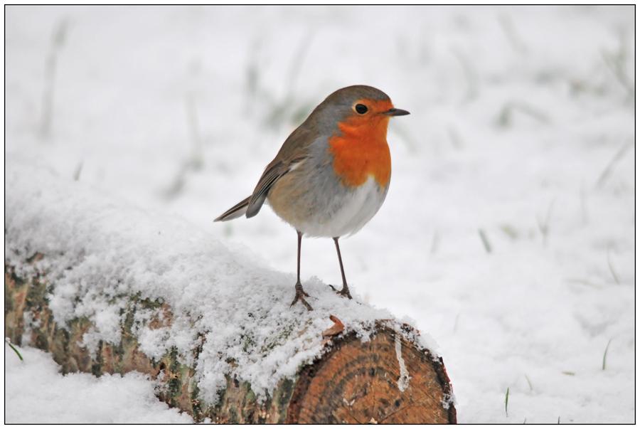 Rouge-gorge dans la neige