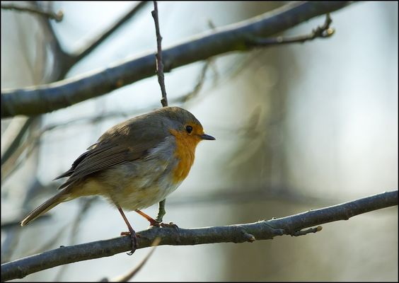 rouge gorge (European Robin)