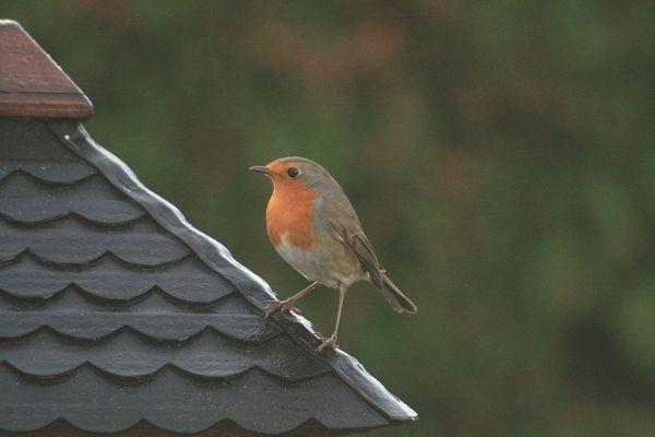 rouge-gorge sur un toit