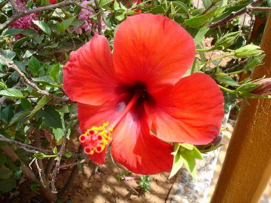 Rouge Ibiscus...