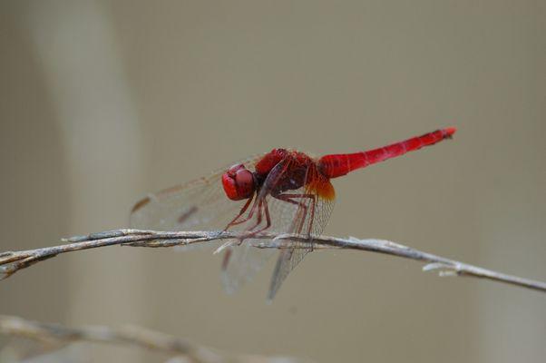 rouge la libeluule