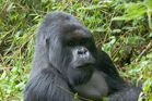 Ruanda - Berggorillas im Vulcanoes National Park (1)