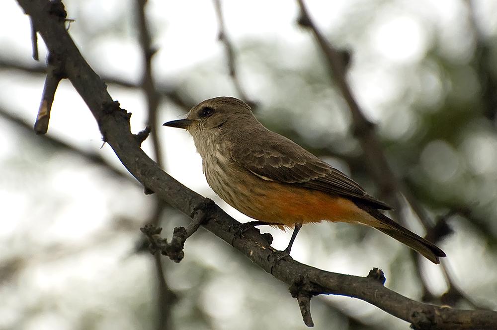 Rubintyrann, Weibchen - Vermilion Flycatcher (Pyrocephalus rubinus)