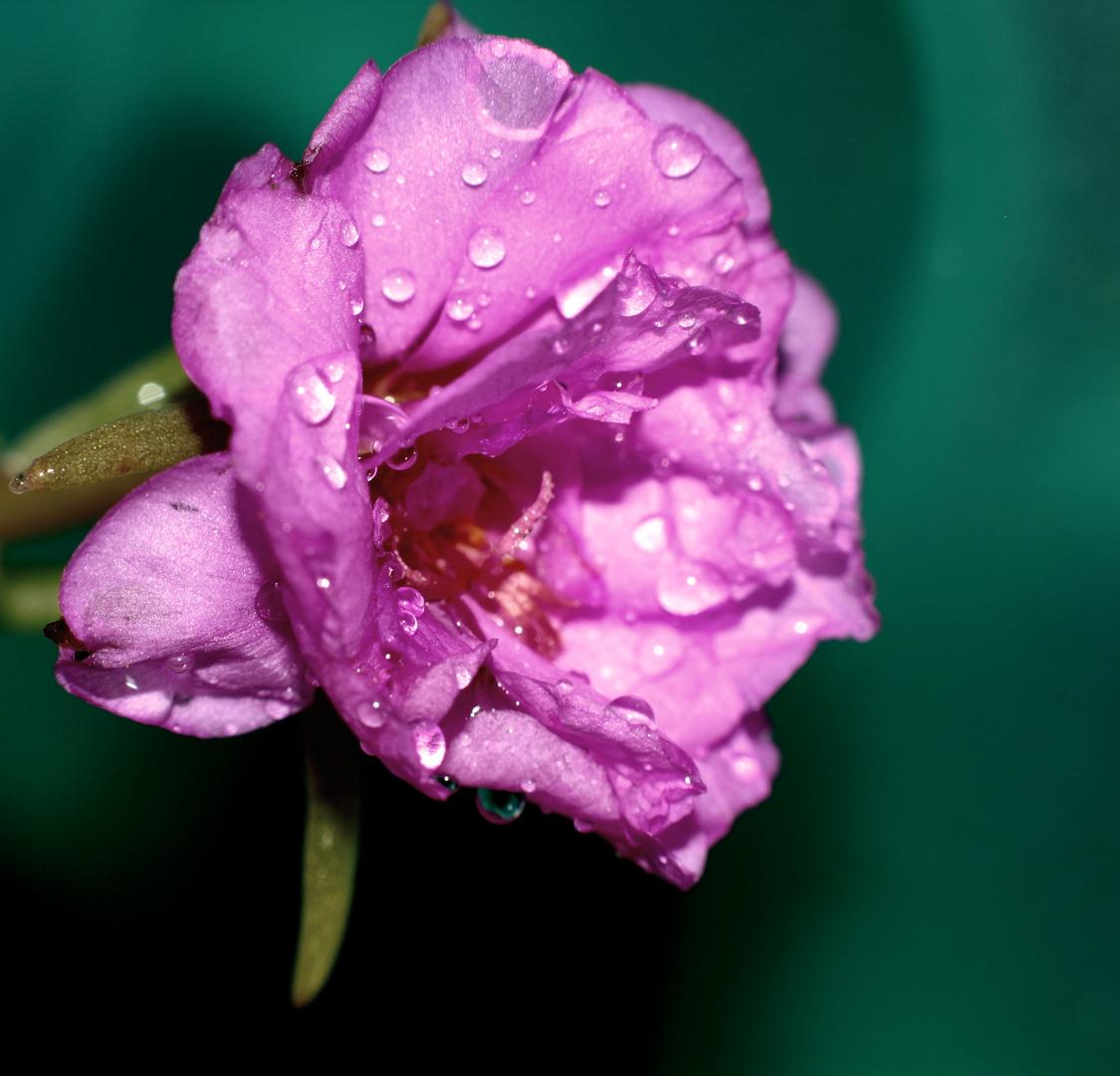 Rubis Rosée