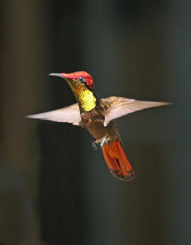 Ruby topaz hummingbird_2