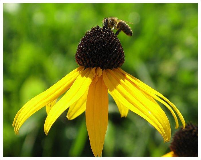 Rudbekia mit Bienchen