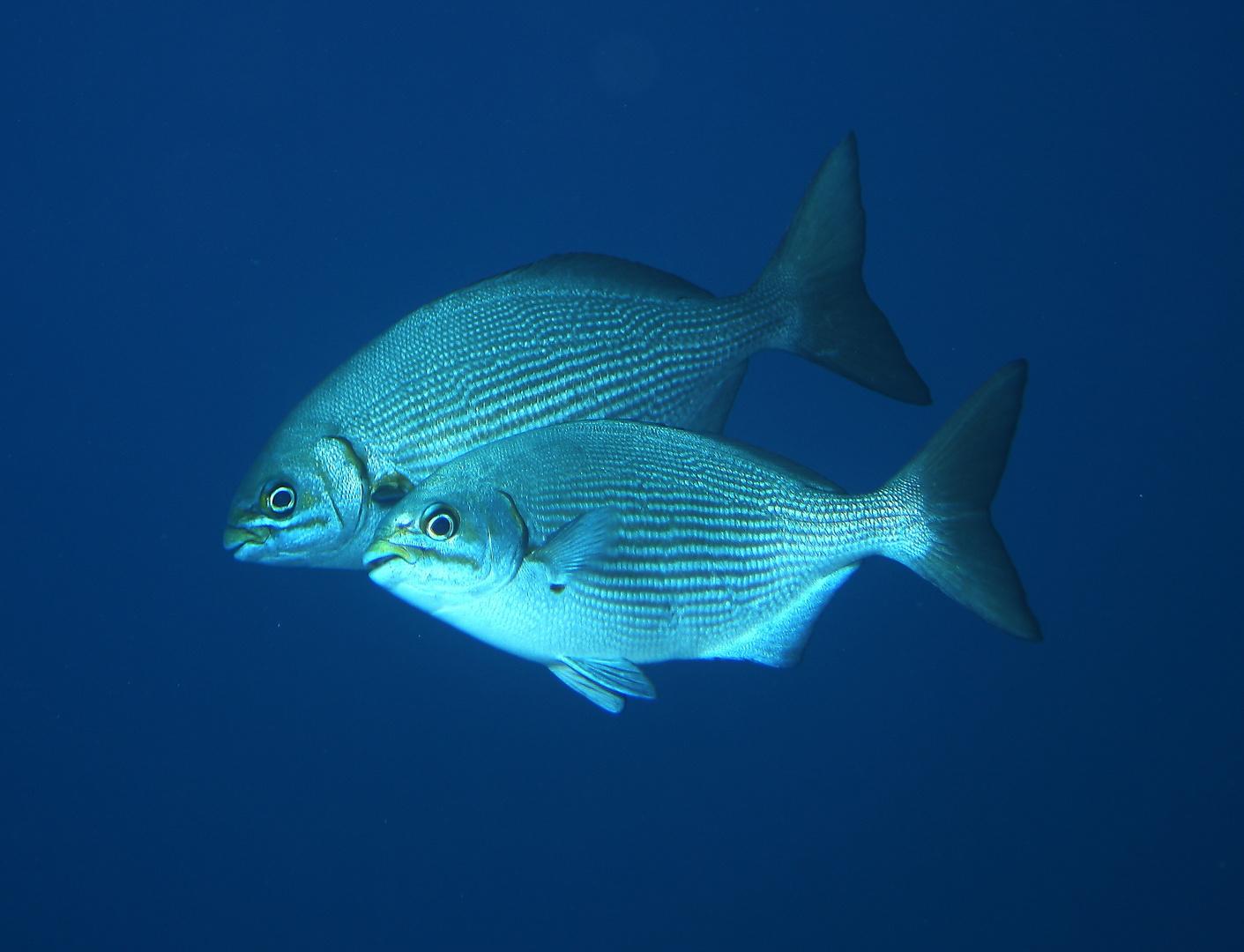 Ruderbarsche Kyphosus sp.