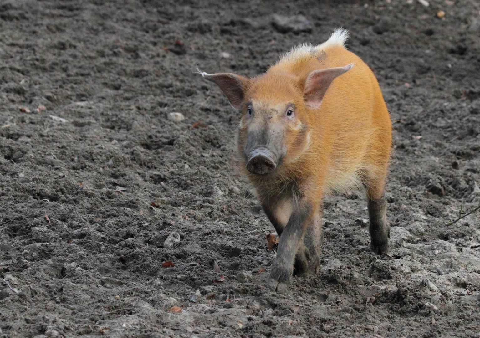 Rudi das Rennschwein