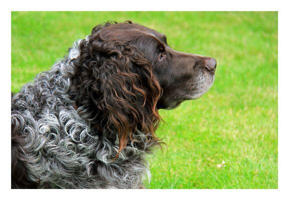 Rudi (Wachtelhund) aus Below