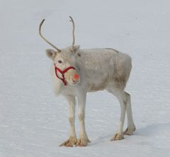 Rudolph the red-nosed reindeer ...