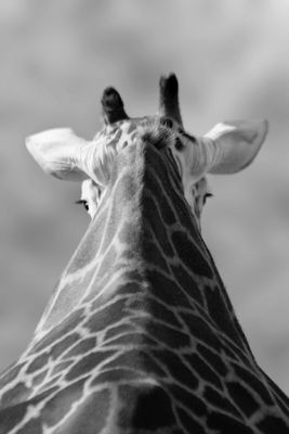 Rückblick einer Giraffe