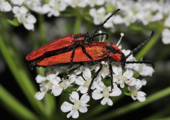 Rüssel-Rotdeckenkäfer, Lygistopterus sanguineus