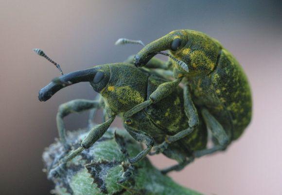 Rüsselkäfer bei der Paarung