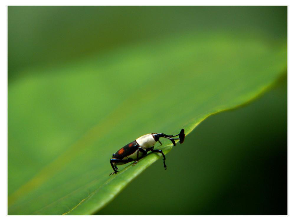 Rüsselkäfer - Blick über den Tellerrand