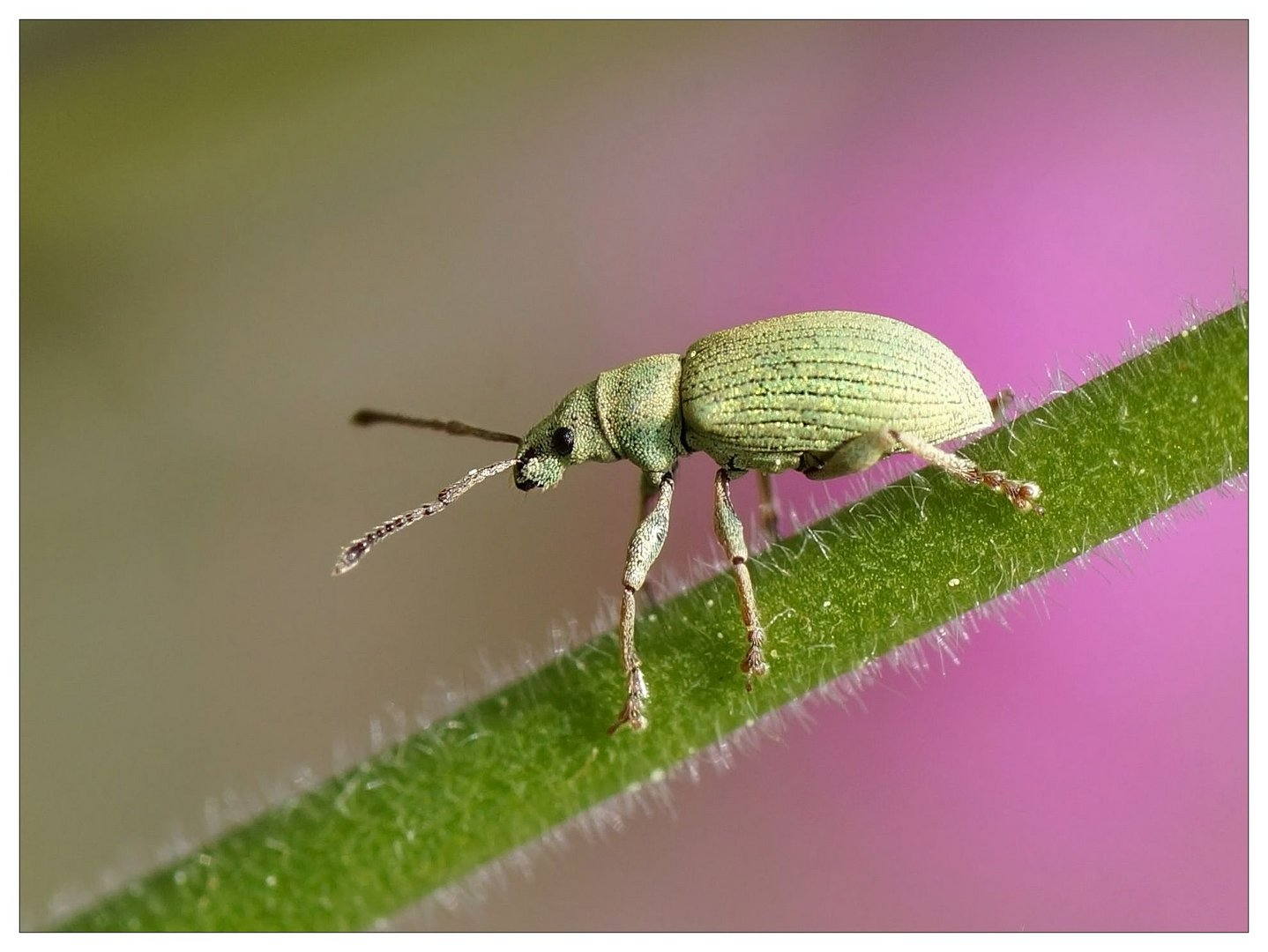 Rüsselkäfer (Curculionidae)