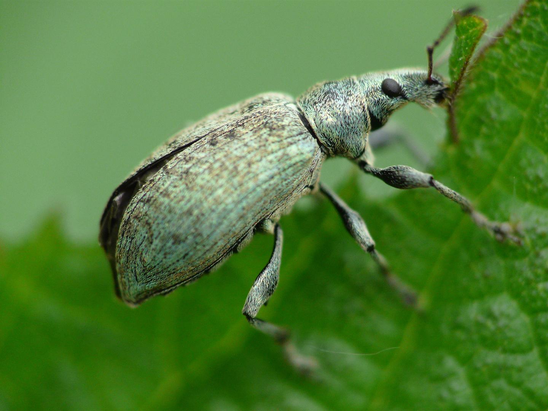 Rüsselkäfer • Curculionidae