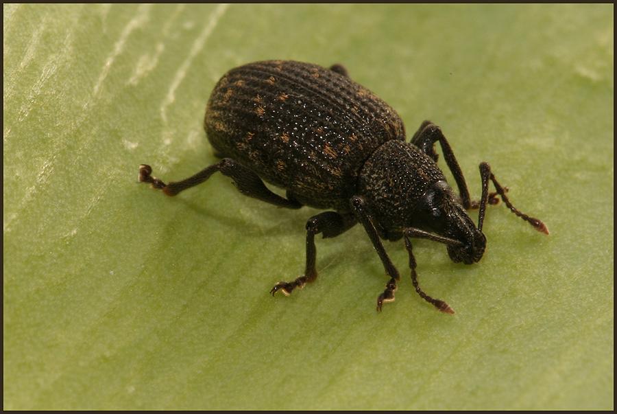 Rüsselkäfer (Otiorhynchus sulcatus)