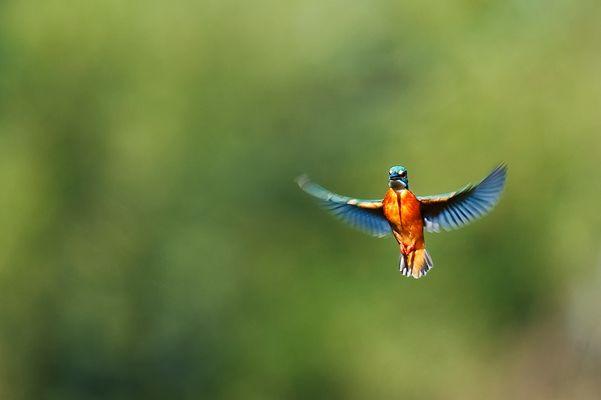 Rüttelflug eines Eisvogel 2