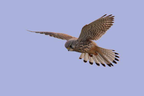 Rüttelnder Falke
