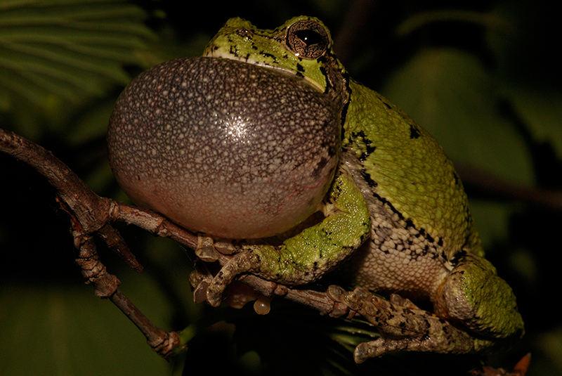 Rufender Gray Tree Frog