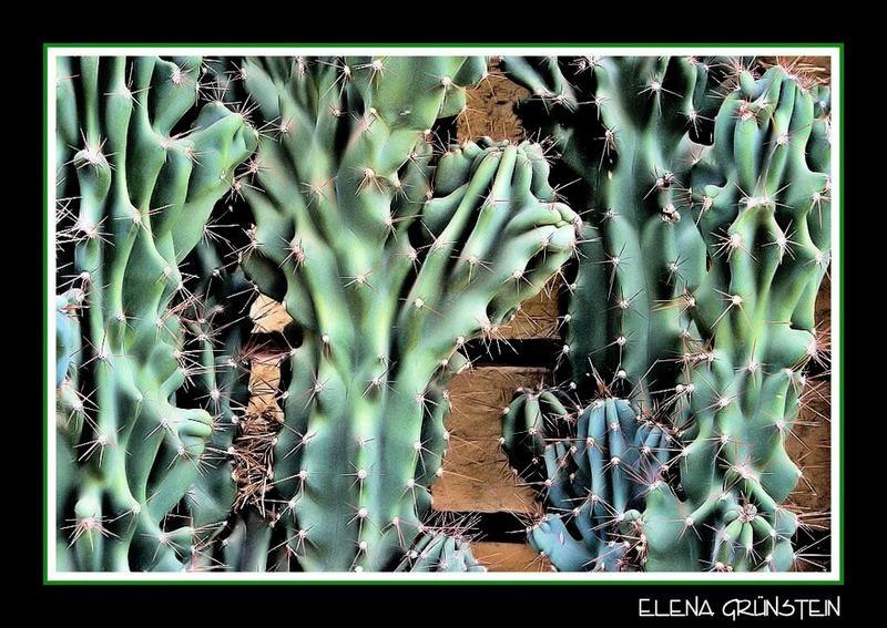 Rugosos Cactus (Rough cactus)