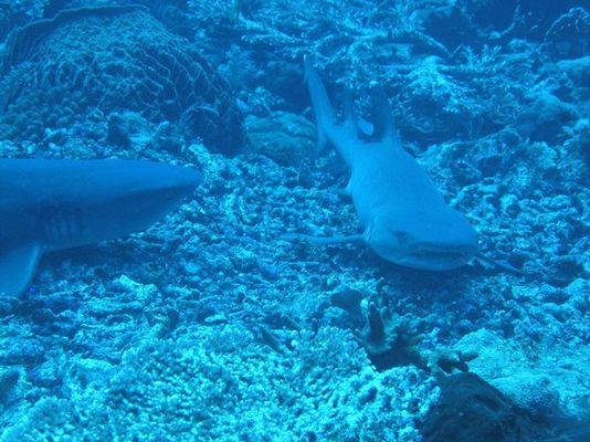 Ruhende Weißspitzenriffhaie