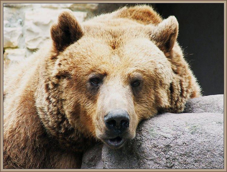 ruhender Bär