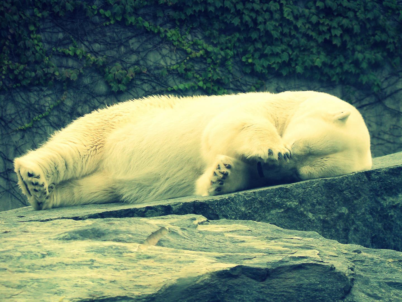 Ruhender Eisbär