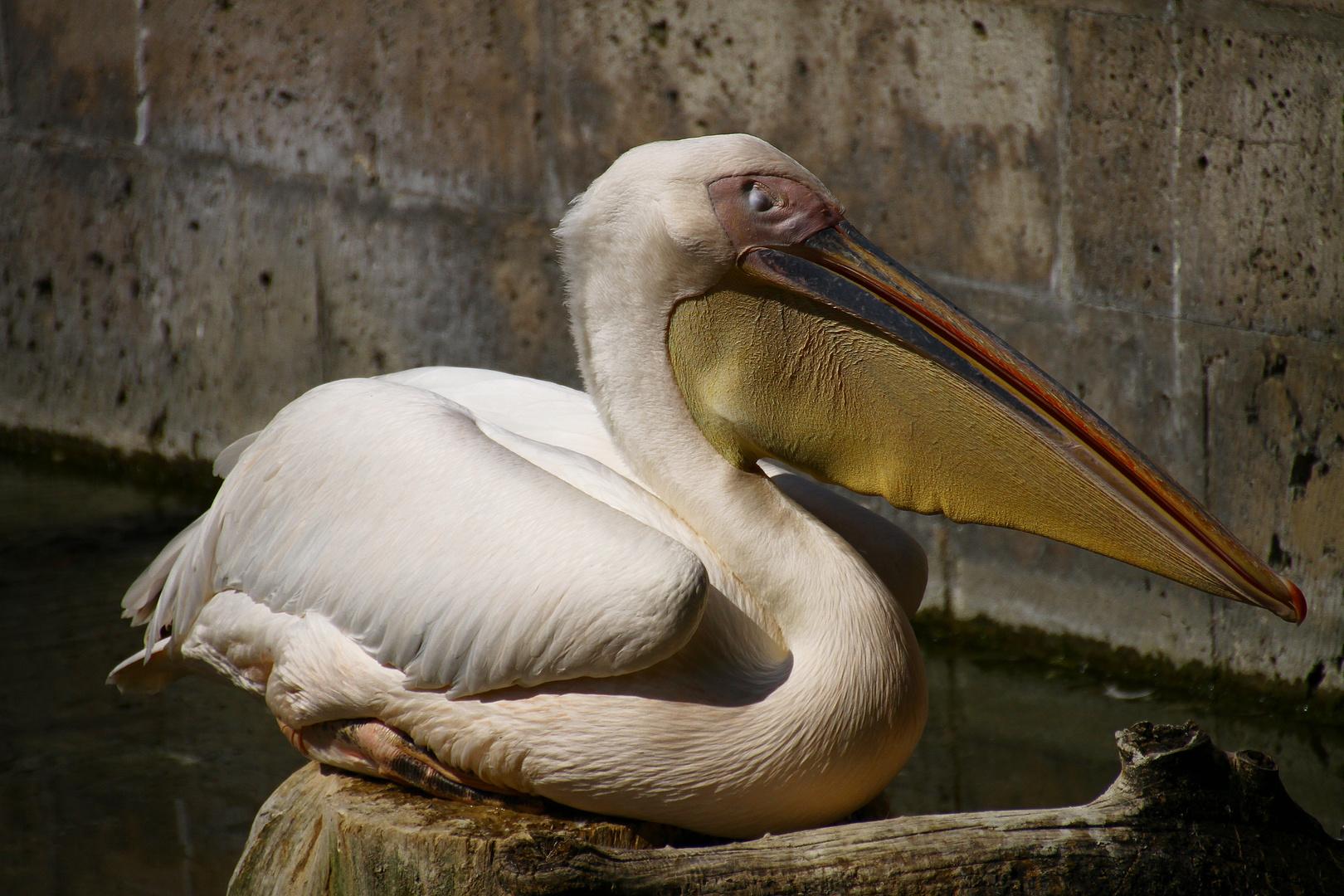 Ruhender Pelikan