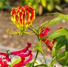 Ruhmeskrone (Gloriosa superba).