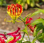 Ruhmeskrone (Gloriosa superba).