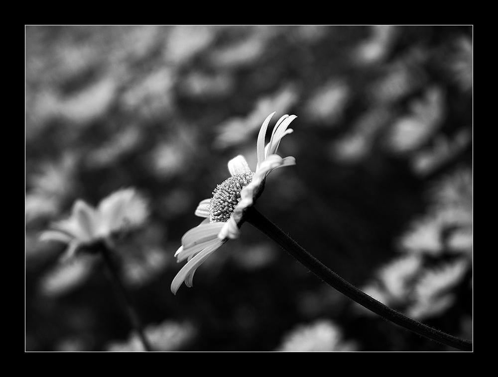 Ruhrpott-Tulpe