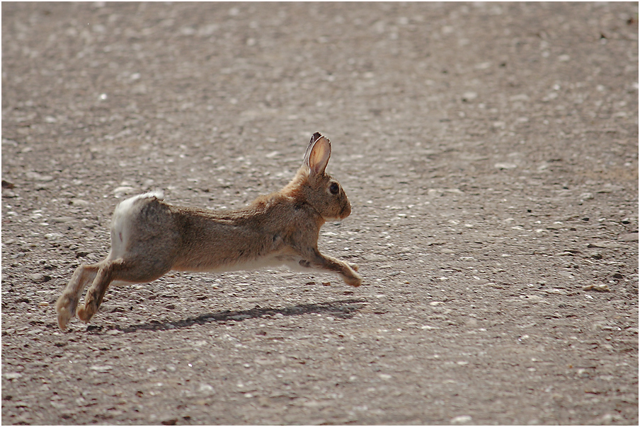Run, Rabbit, Run !